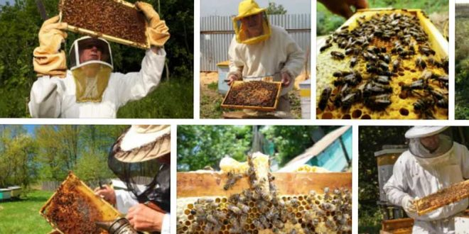 Отглеждане на пчели в дадан блатов кошер